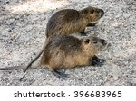 colonia nutria farm. nutria   a ...   Shutterstock . vector #396683965