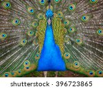 Small photo of South African Peacock