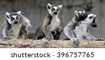 ring tailed lemur  | Shutterstock . vector #396757765