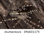 Small photo of Wolf spider, Acantholycosa lignaria on wood