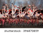 Flock Of  Greater Flamingo ...