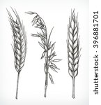 crops  wheat and oat sketches ... | Shutterstock .eps vector #396881701