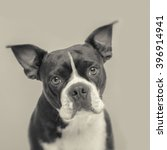 boston terrier with vintage tone   Shutterstock . vector #396914941