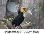 Male Wreathed Hornbill