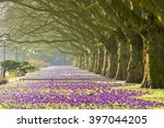 Spring Flowering Crocuses In...