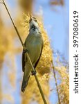 Small photo of singing bird Great Reed Warbler / Acrocephalus arundinaceus