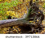 Dead Uprooted Maple Tree In Th...