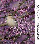 Northern Mockingbird In Spring...