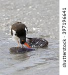 Small photo of American Oystercatcher (Haematopus palliates) eating a clam.