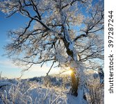 lonely oak tree covered with... | Shutterstock . vector #397287244