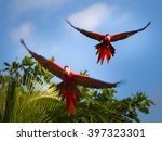 These Scarlet Macaws Were...