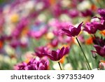 tulips in spring with beautiful ... | Shutterstock . vector #397353409
