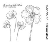 anemone sylvestris flowerrs... | Shutterstock .eps vector #397370041