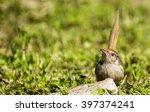 indian sparrow | Shutterstock . vector #397374241