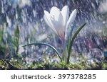 Beautiful Spring White Crocus...