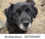 abandoned senior dog  sad old... | Shutterstock . vector #397420447