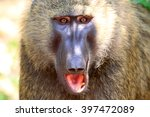 olive baboon or anubis baboon ... | Shutterstock . vector #397472089