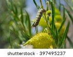 Monarch Caterpillar Amongst...