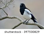 Beautiful Eurasian Magpie ...