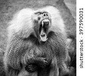 Wonderful Baboon Shows His Lon...