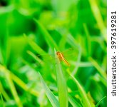 Orange Dragonfly Sits On A...