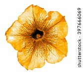 Small photo of Orange althea flower macro isolated on white