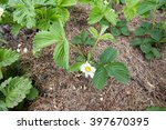 strawberry bush blooming on the ... | Shutterstock . vector #397670395
