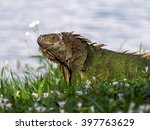 Molting Green Iguana In Grass...