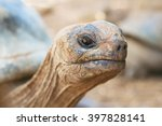 Giant Grey Tortoise Standing O...