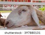 Sheep Stuck Her Head Through...