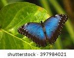 blue morpho  morpho peleides ... | Shutterstock . vector #397984021