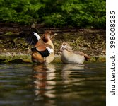 Small photo of Egyptian Goose, Alopochen aegyptiaca