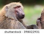 olive baboon or anubis baboon ... | Shutterstock . vector #398022931
