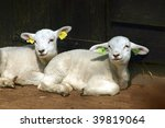 two white lambs | Shutterstock . vector #39819064