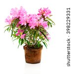 Rhododendron Flowers Isolated...