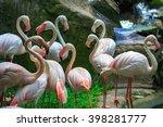 Flamingo Phoenicopterus In...
