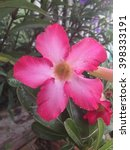 Small photo of Pink Adenium flower.