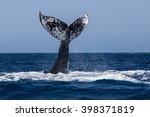A Humpback Whale  Megaptera...