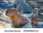 Capybara Waiting For Food At...