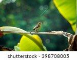 bird sunbird on banana tree... | Shutterstock . vector #398708005