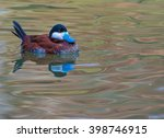 A Male Blue Billed Duck  A...