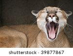 Captive Mountain Lion  Puma...