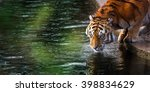 Tiger Is Drinking Water From...