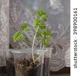 the tomato seedlings on the... | Shutterstock . vector #398900161