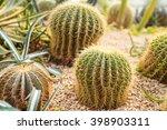 Domestic Cactus Closeup  In...