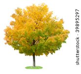 Single Maple Tree In The Autum...