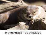 Small photo of resting Oriental small-clawed otter, Amblonyx cinerea