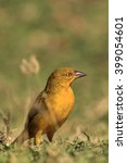 Small photo of Holub's golden weaver (Ploceus xanthops), also called the African golden weaver sitting on the grass