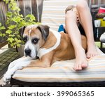 Boxer Mix Dog Relaxing Outside...