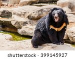 Asiatic Black Bear Near The Pool
